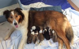 a new litter of scotch collie puppies