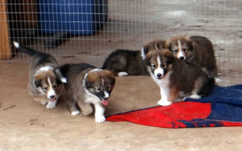 Arizona Scotch Collie Puppies