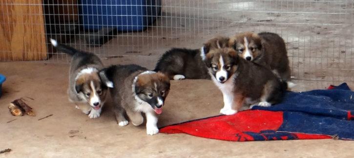 Arizona Scotch Collie Puppies